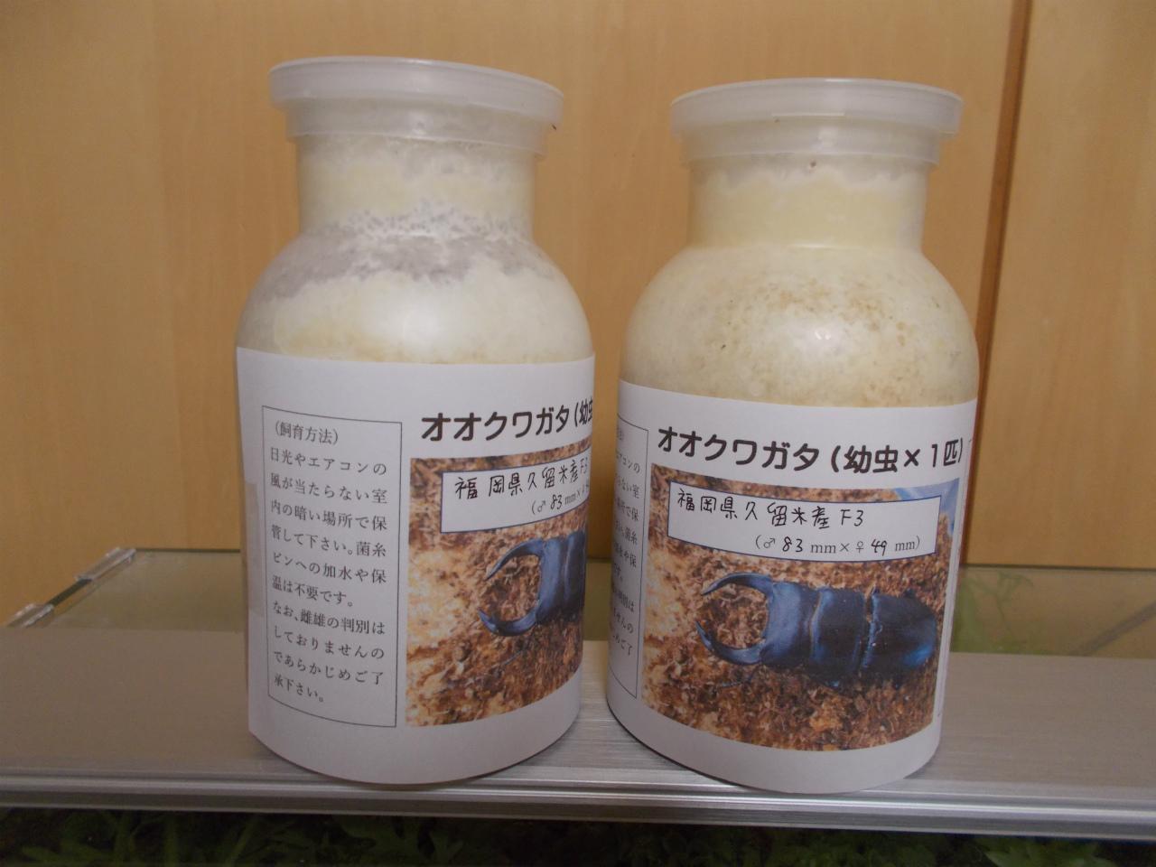 菌糸 ビン オオクワガタ